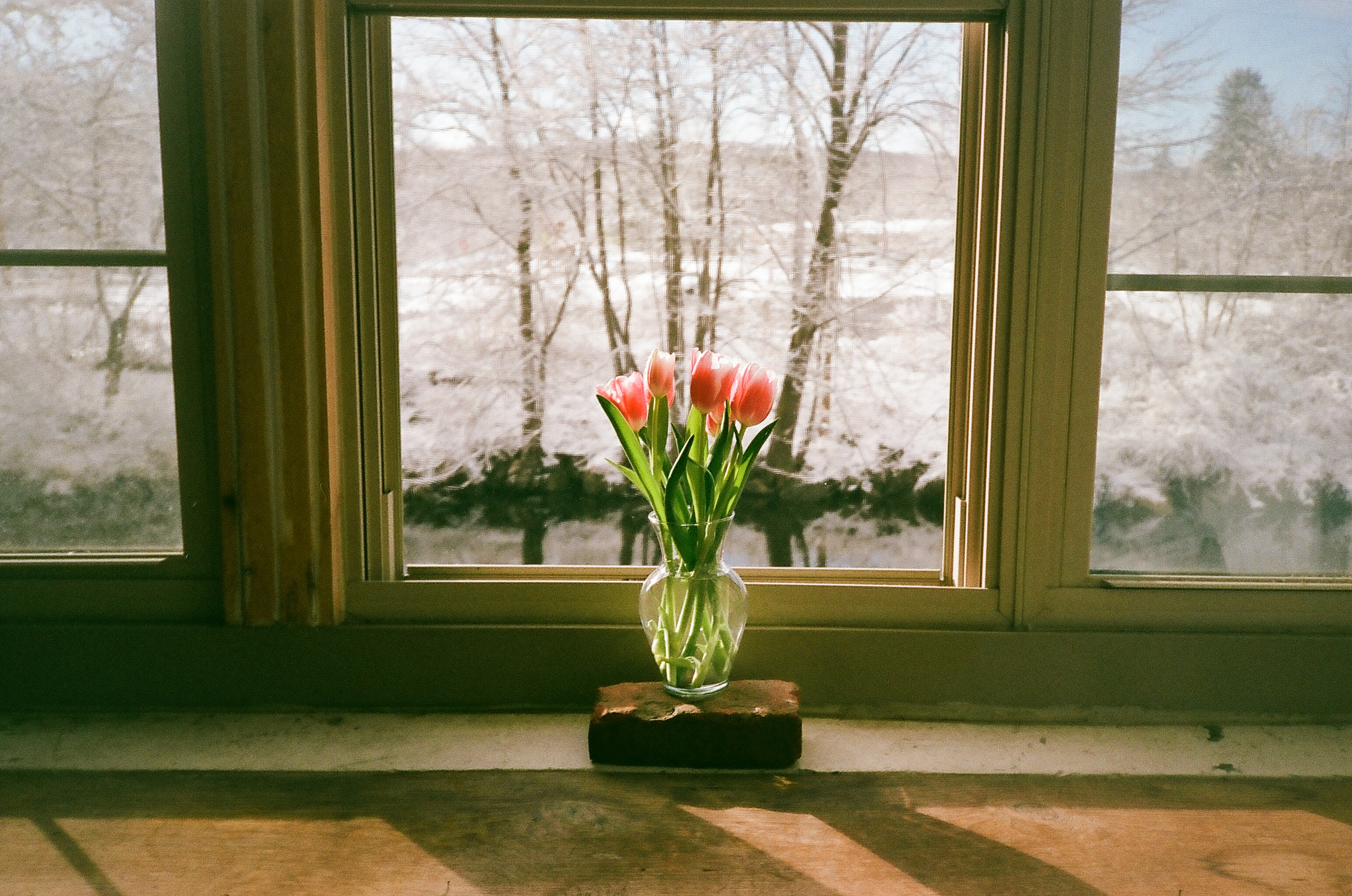 Tulips and snow from the CQ office, Florence, MA, February 2016 | photo © NSS